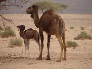 Chegaga camels